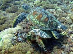 green turtles in Gili Trawangan