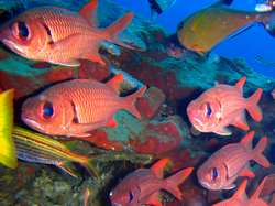 soldierfish - Myripristinae in Gili Air