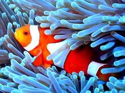 Nemo - clownfish Gili islands - Lombok