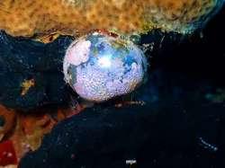 alga - Valonia ventricosa, strange underwater ball