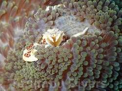 海葵蟹躲在海葵里