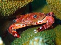 Nice Crab in Gili Air