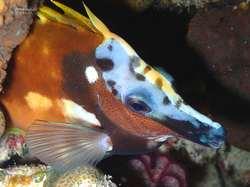Night colors for a foxface rabbitfish - Siganus vulpinus