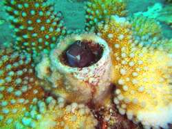 Blennie en plongée aux iles Gili