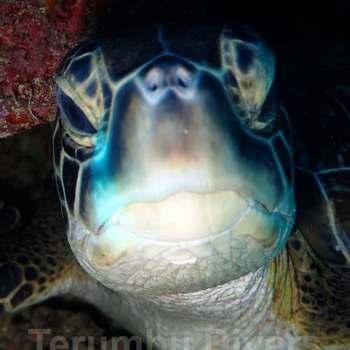 head of green turtle