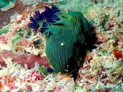Nembrotha milleri海蛞蝓(海兔)