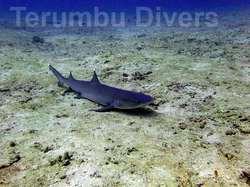 Requin aux Gili en Indonésie