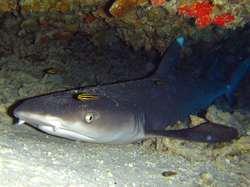 White tip reef shark sea life in Lombok