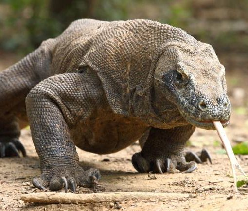 Komodo dragon in Indonesia, Flores