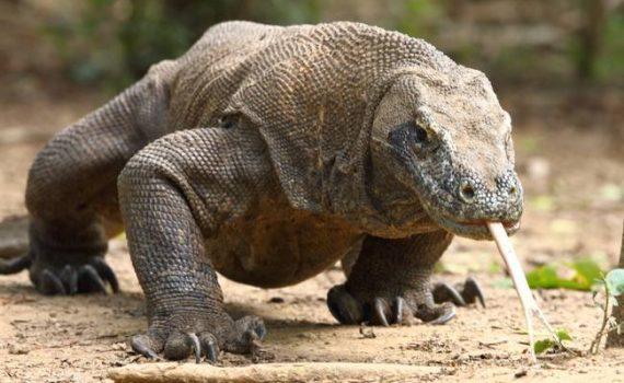 Komodo dragon in Indonesia, Flores