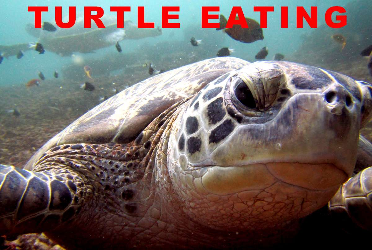 sea turtle is eating during a dive