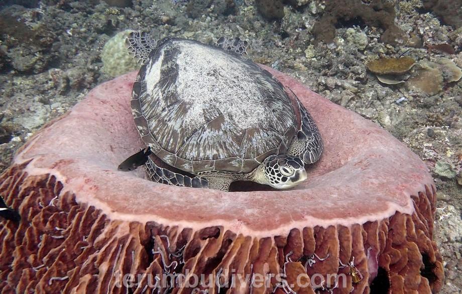 sleeping turtle in gili islands