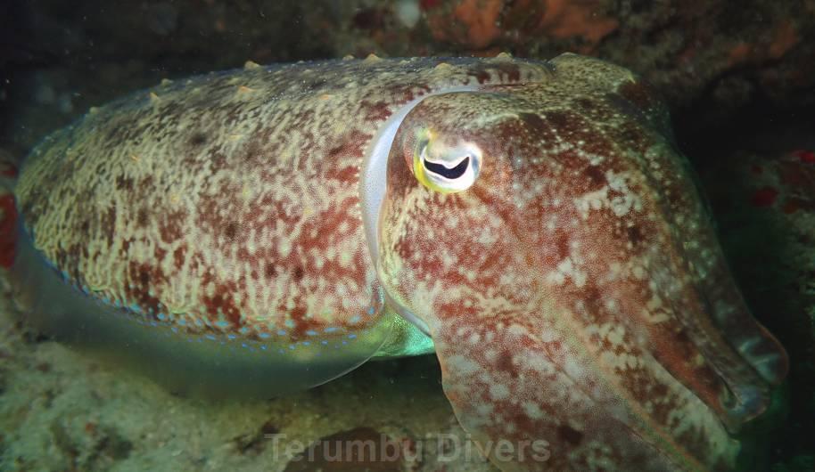 cuttlefish scubadiving in indonesia