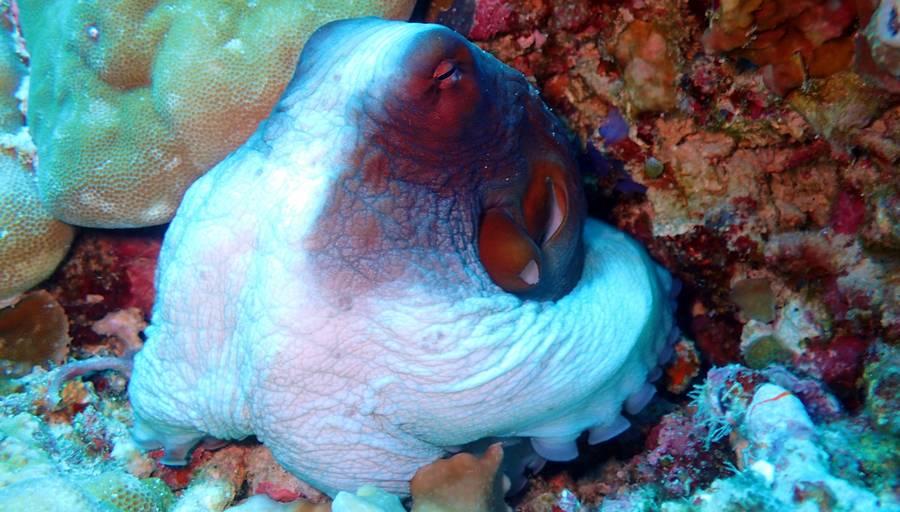 octopus scuba indonesia